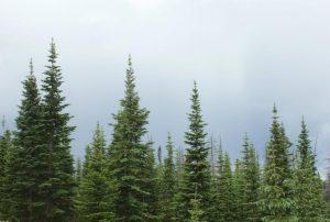 Christmas trees near Creede, CO