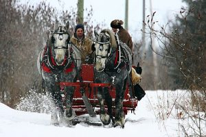 Two horses pulling a sled since sleigh rides Denver Colorado are popular
