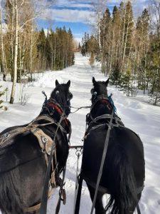 Two black horses pulling a sleigh near Denver Colorado