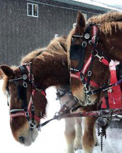Draft horses at Golden Horseshoe Sleigh Rides Denver Colorado