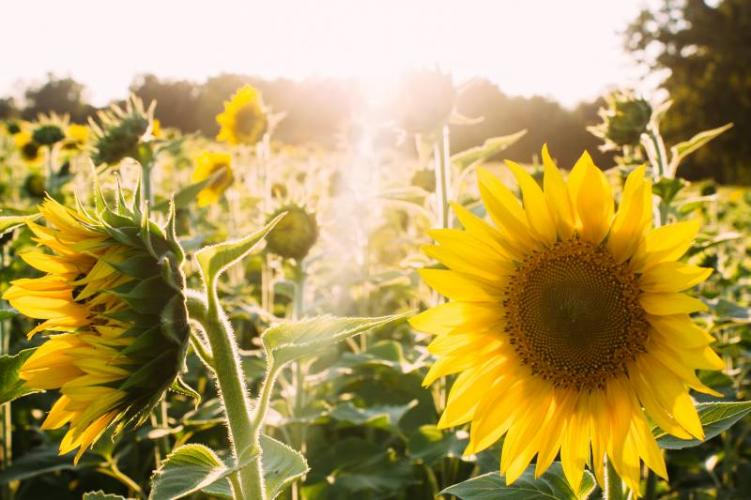 """A field of sunflowers, which are illegal to grow taller than 10"""" under weird laws in Colorado"""