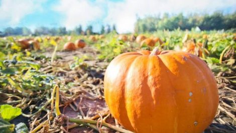 One large pumpkin in the foreground and several in the background at one of several pumpkin patches in Colorado